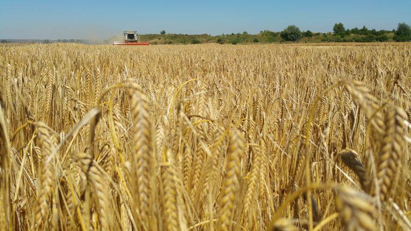 Getreideernte: Trockenheit des Frühjahrs schmälert Erwartungen deutlich
