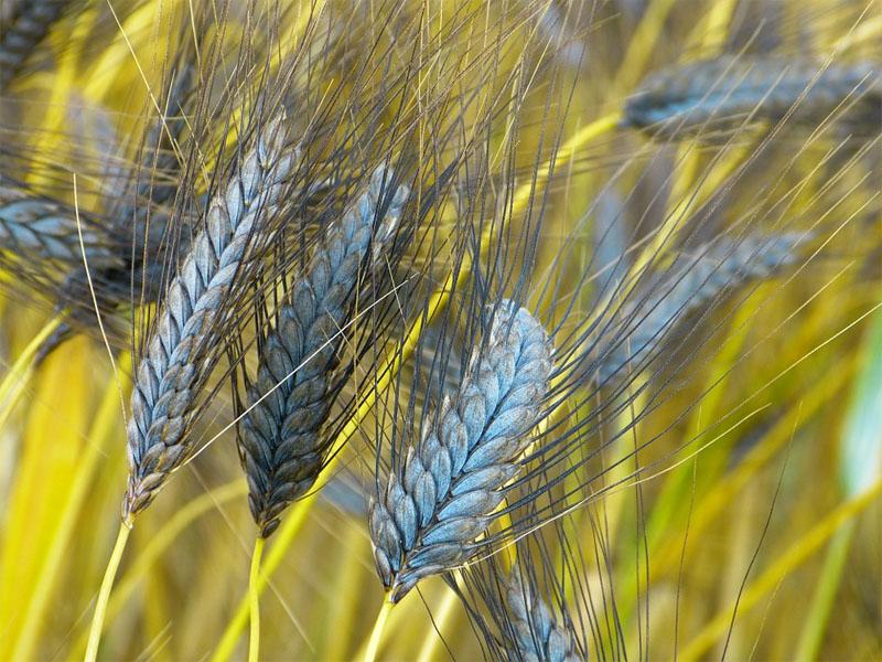 Einkorn, Emmer, Dinkel: Alte Weizenarten fördern die Sehkraft und senken das Cholesterin