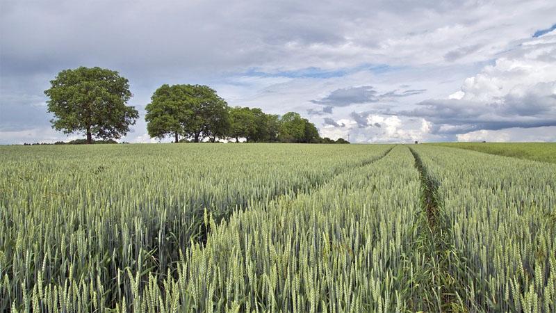 DRV-Schätzung: Getreideernte auf Vorjahresniveau?