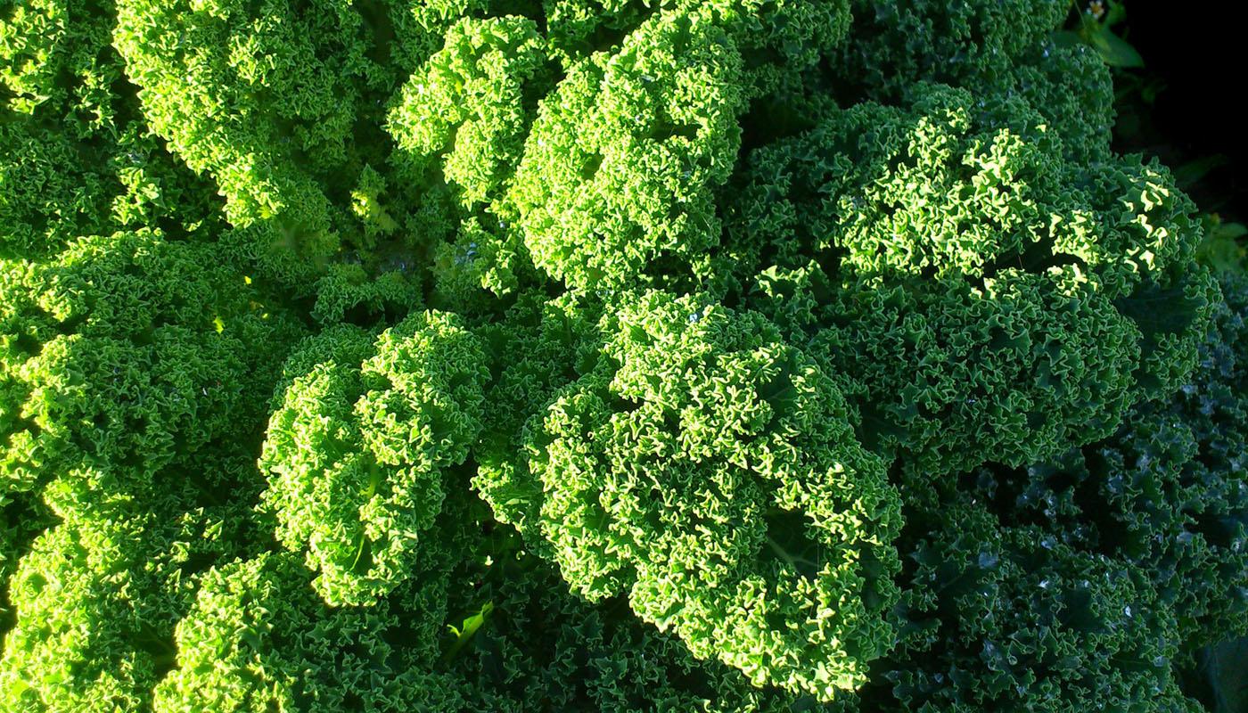 Grünkohl: Gesundes Krauses für Smoothie und Salat