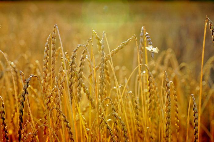 Neue alte Getreidesorten für Biodiversität und Mehrwert