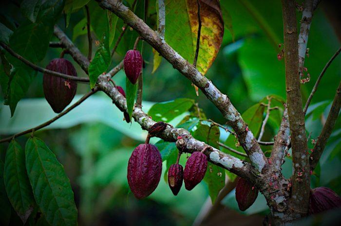 Kakao: Geschmacksprofile schnell und präzise bestimmen